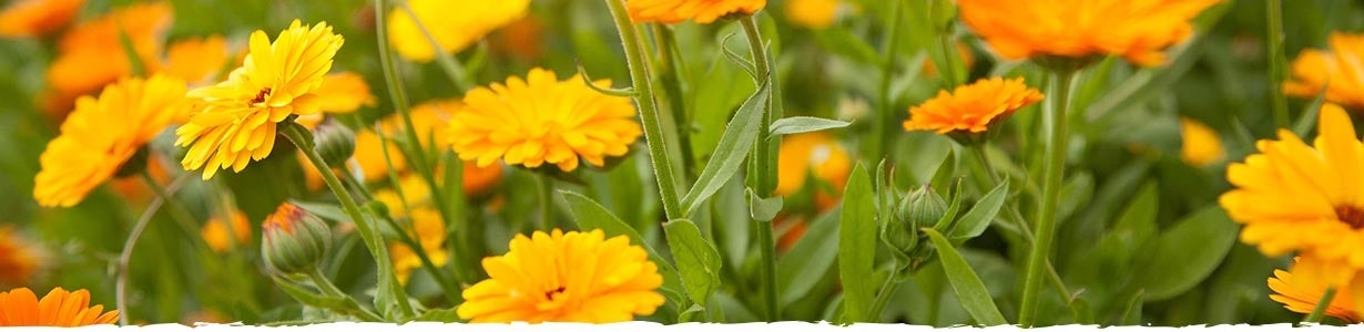 All About Calendula Banner