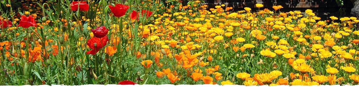 Growing Calendula Banner depicting Field of Calendula with some Poppies