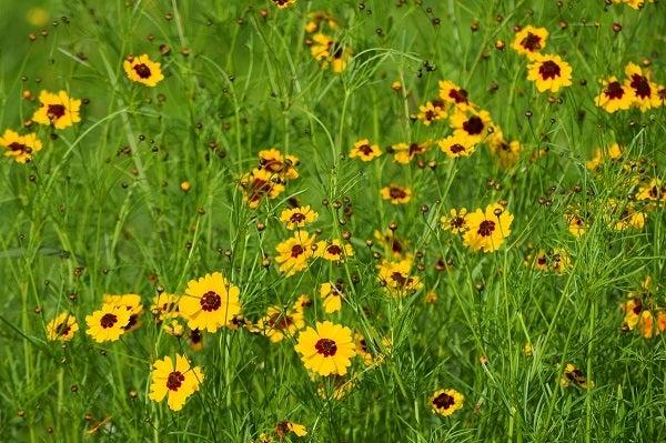 Plains Coreopsis Wildflower Meadow