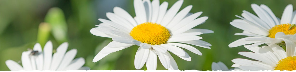 how to grow daisies banner