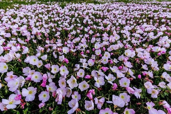 Pink Showy Evening Primrose