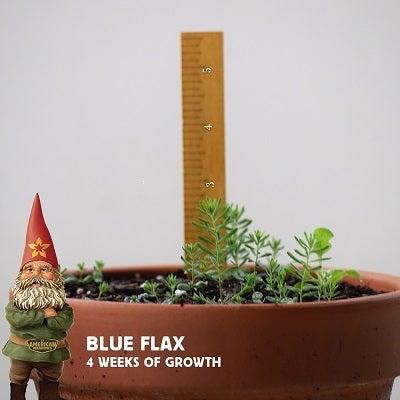 4 week old blue flax seedlings