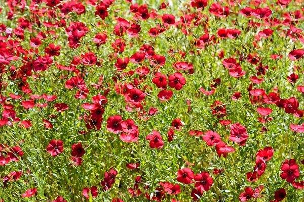 Scarlet Flax in bloom