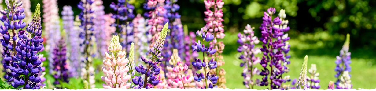 all about lupine banner