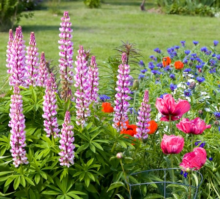 how to grow lupine, Natural flower