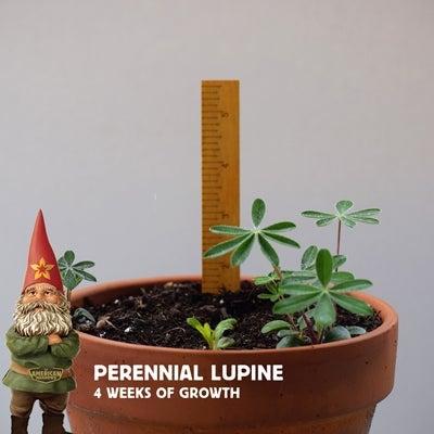 4 week old lupine seedlings