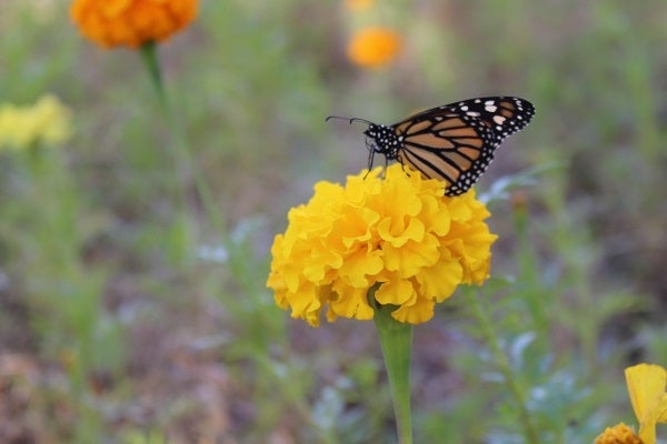 Monarch visiting African Marigold