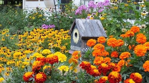 Marigolds in a Perennial Garden