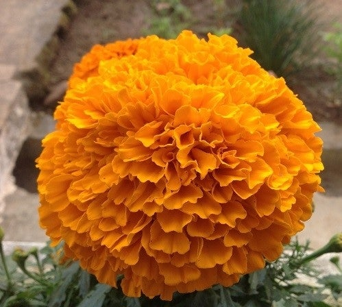 Orange African Marigold Bloom