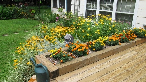 Marigolds in Containers with Black Eyed Susans in background