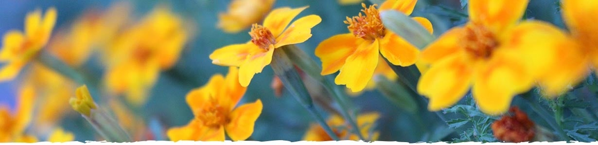 How to Grow Marigold Banner