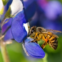 close up of texas bluebonnet with bee