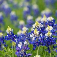 texas bluebonnet growing
