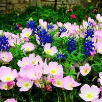 texas bluebonnet growing with primrose