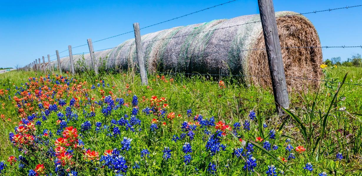 texas bluebonnet makes a carpet of color