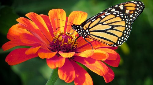 Monarch butterfly resting on zinnia