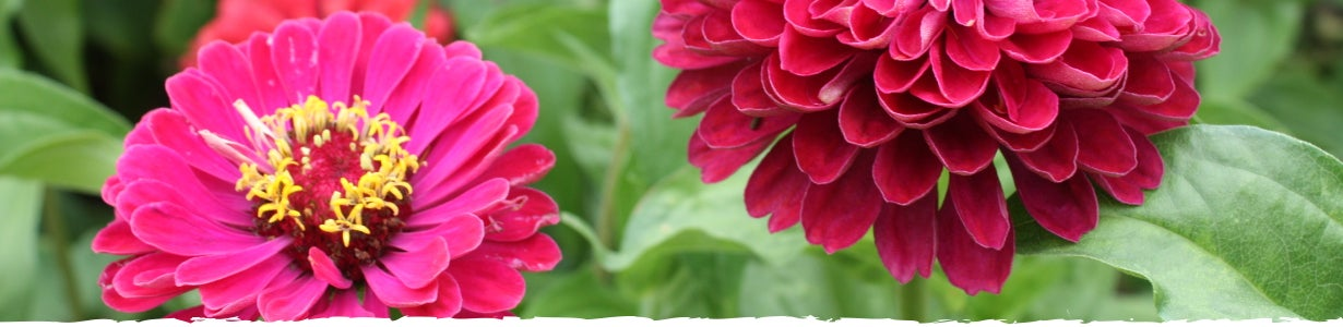 how to grow zinnias banner