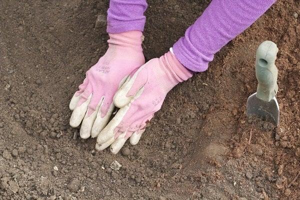 planting bloodroot