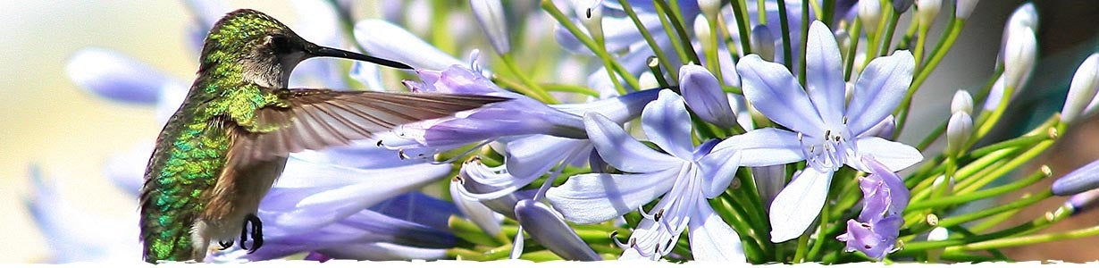 african lily and hummingbird