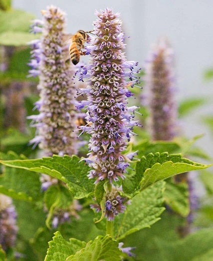 Anise Hyssop with Bee