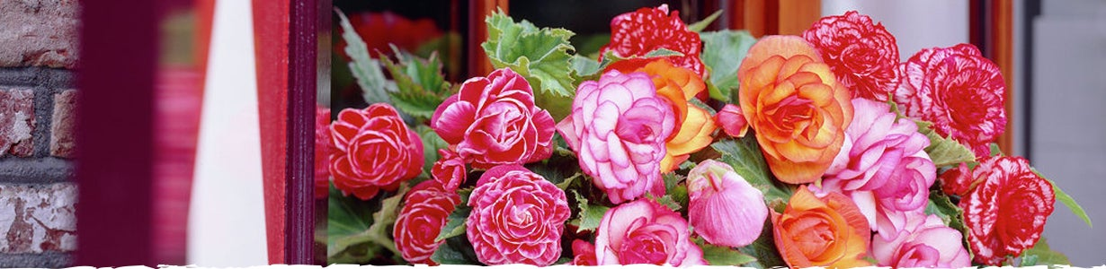 begonias in a window