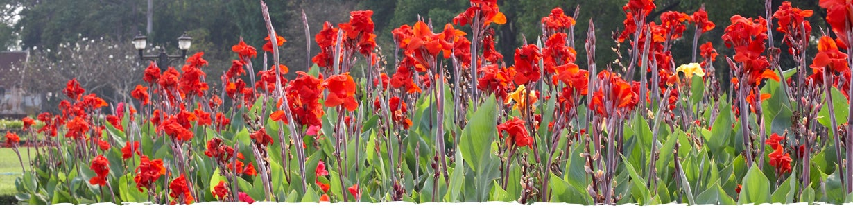 field of cannas