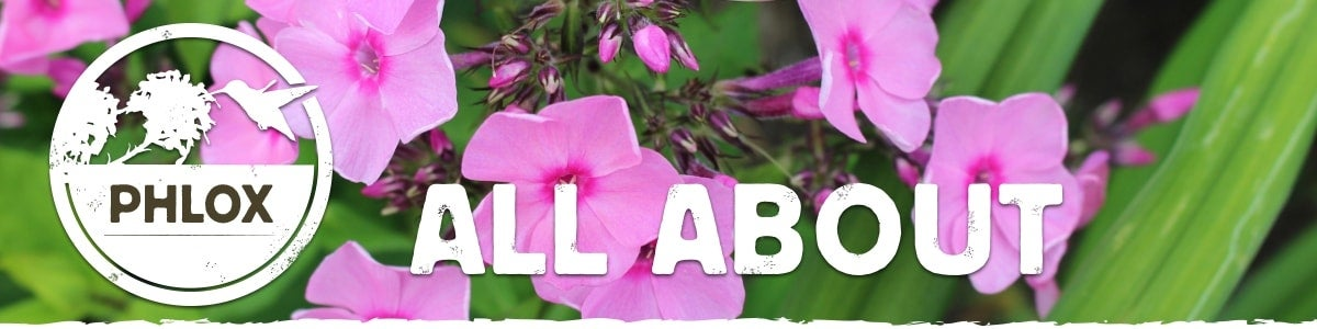all about phlox