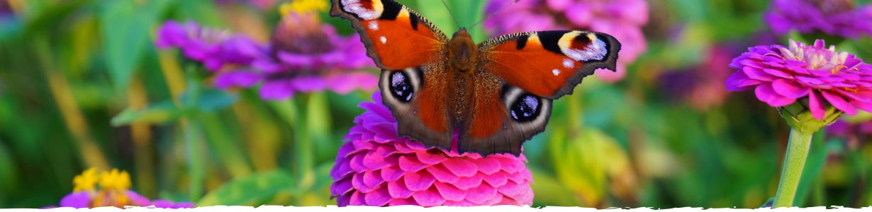 butterfly on a pink zinnia bloom