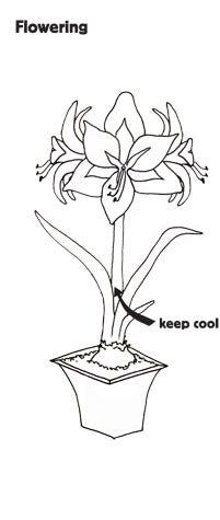 Flowering Amaryllis Illustration