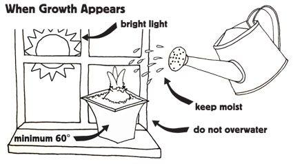 Amaryllis care instructions