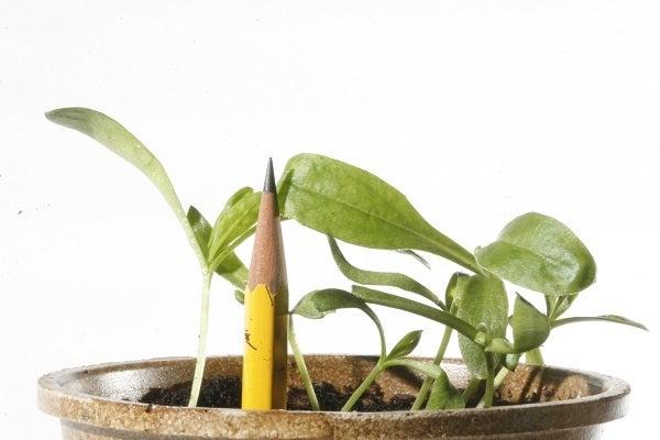 calendula sprouts