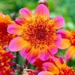 anemone-flowering dahlias