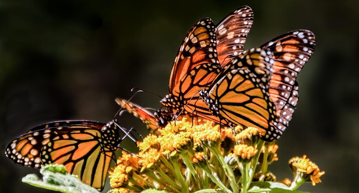 close up of four monarchs sitting on milkweed