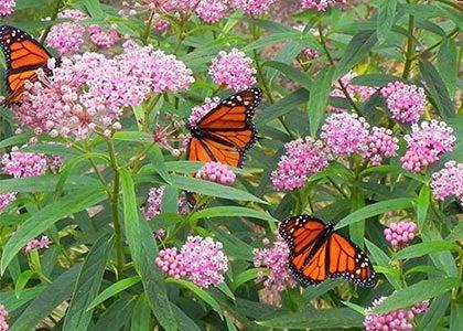 monarchs with swamp milkweed