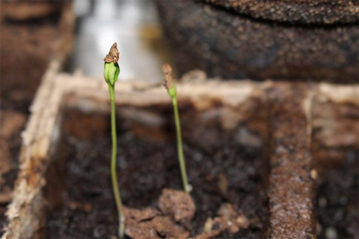 milkweed sprouts