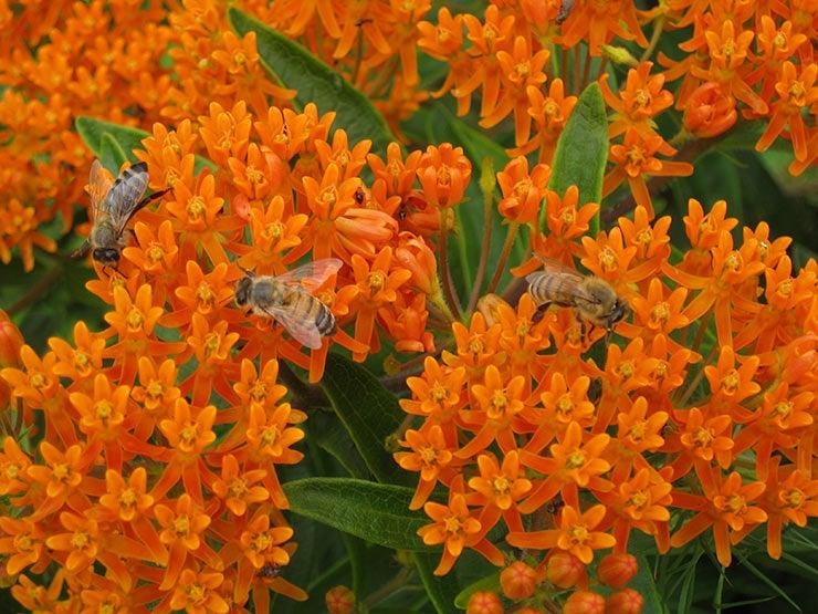 blooming milkweed with bees