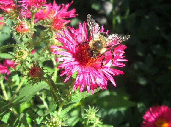 Pink aster with bee
