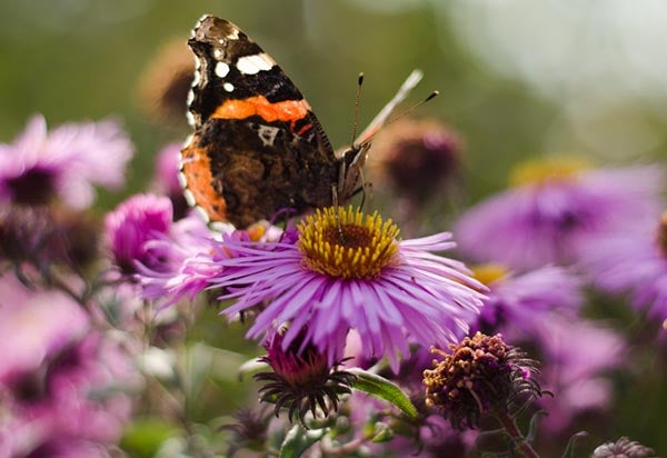 Red Admiral butterfly visits an Aster bloom