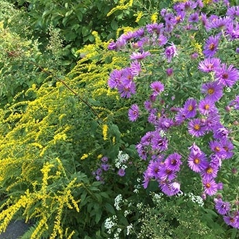 Aster grouped with Goldenrod