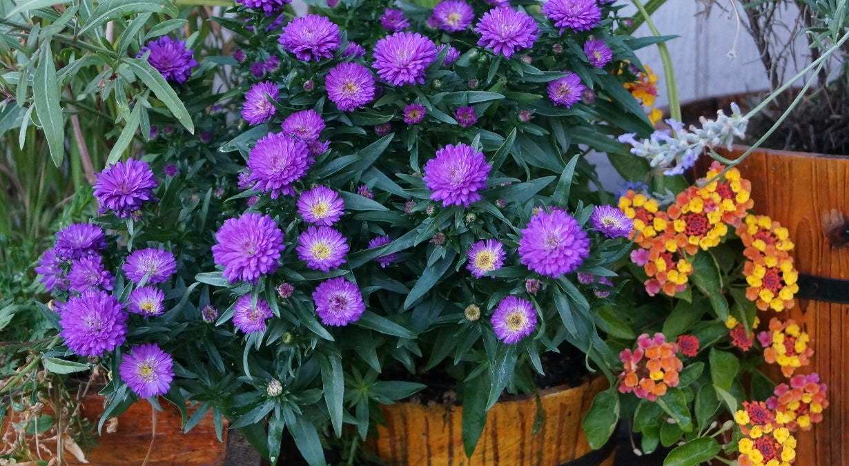 Aster blooming in a container