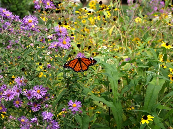 Monarch drinking nectar from aster