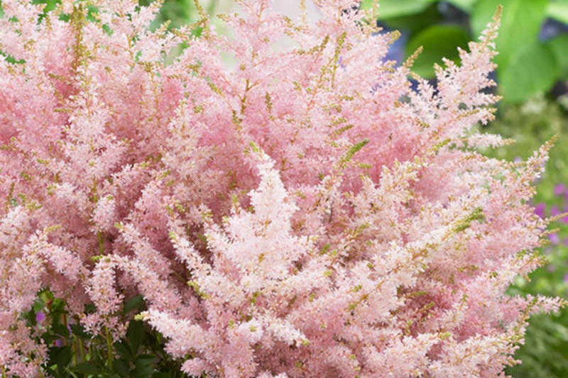 astilbe silvery pink