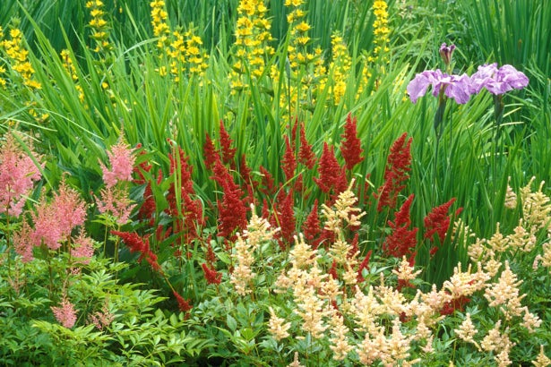 Astilbe in flower garden