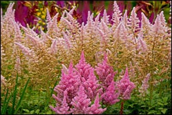 Astilbe Mix in Pink