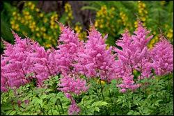 Pink Astilbe in Bloom