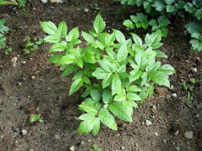 young astilbe plant