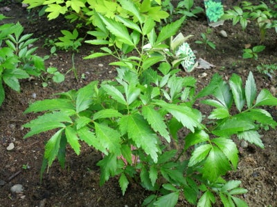 growing astilbe plant