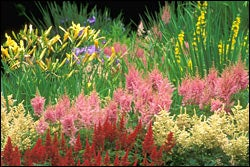 Astilbe Mix with Daylilies