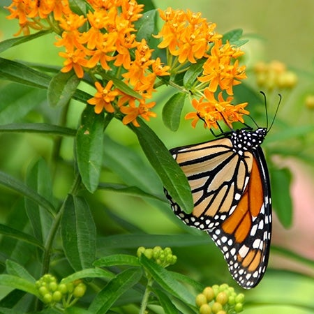 a monarch visits butterfly weed in bloom