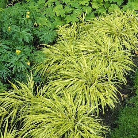 aureola Japanese forest grass in garden bed